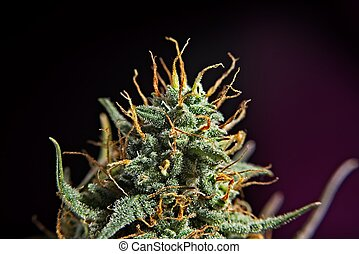 Top bud of green mature cannabis female plant. - Top bud of...