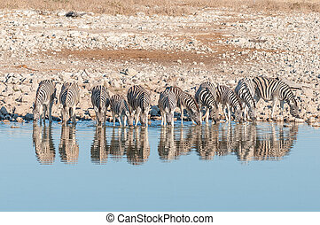 Burchells zebras, with their reflections visible, drinking...