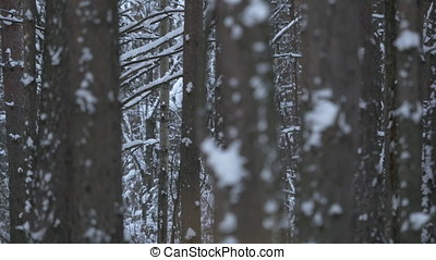 Close-up of frost on a tree in winter. Pine tree covered with hoar frost close-up. Winter snow