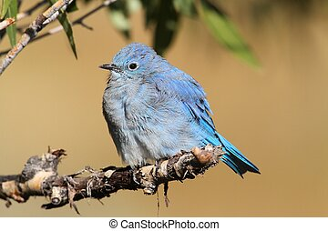 Male Mountain Bluebird (Sialia currucoides)