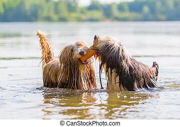 Collies, barbudo, tocando, dois, lago