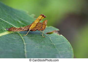 Image of a brown monkey grasshopper (Arthropoda: Insecta:...