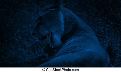 Lion Lying In The Grass At Night - Female lion rests in long...