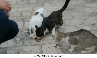 Three shorthair cats eat dry food outdoors in summer day. Adult pussycat