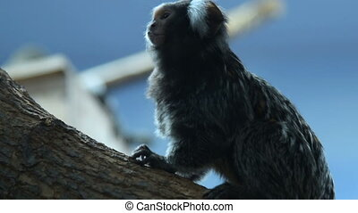 Common marmoset in the zoo - Common marmoset sitting on the...