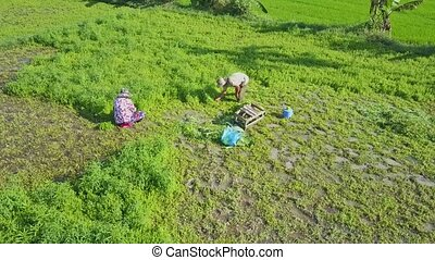 Drone Flies Close above People Harvesting Salad on Field
