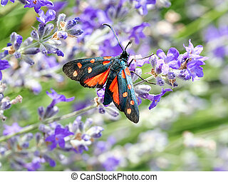 Zygaena transalpina moth. On lavender flower. - Red and...