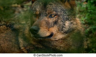 Wolf Looking Around Deep In Woods Closeup - Closeup of wolf...