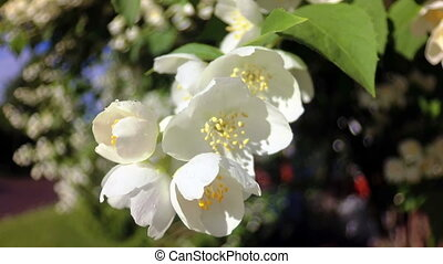 White Flowers Blossoms on the Branches Cherry Tree.