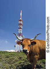 Antennas - High mountain cow near a communication tower...