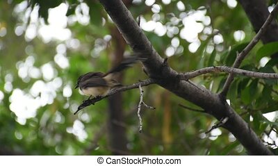 Bird (Pied Fantail Flycatcher) on a tree - Bird (Pied...