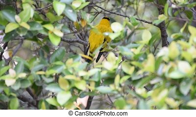 Bird (Black-Naped Oriole) on a tree - Bird (Black-Naped...