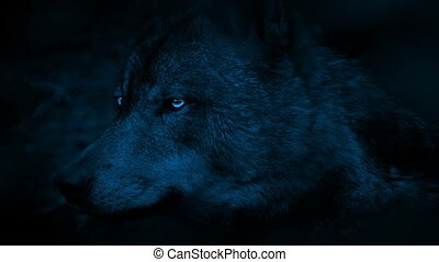 Wolf Side View With Bright Eyes In The Dark - Profile shot...