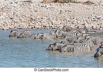 Burchells zebras standing in a waterhole to drink - A herd...