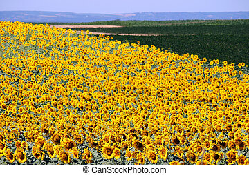 sunflower field landscape summer season agriculture
