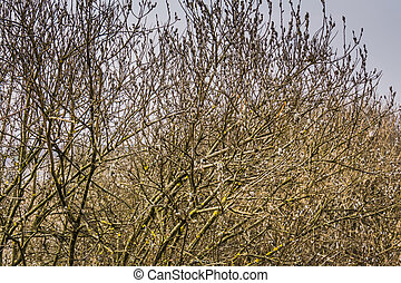 Spring Pussy Willow - Flowering branches of pussy willow in...