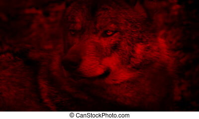 Wolf Looking Around Blood Red Abstract Large adult wolf...