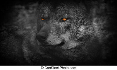 Wolf Looking Around With Fiery Eyes Abstract - Closeup of...