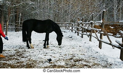 Woman cleans her horse in winter forest. pretty woman woman...