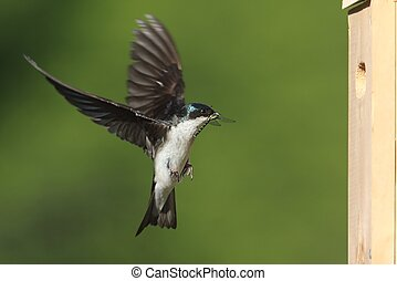 Tree Swallow (tachycineta bicolor) bringing a dragonfly to...