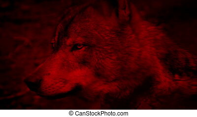 Wolf Side View Blood Red Abstract - Profile shot of wolf in...