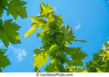 sunlit leaves of sycamore as natural background.