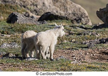 Cute Mountain Goat Kids - a pair of cute young mountain goat...