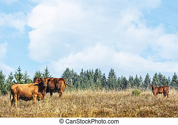 cow herd on a idyllic natural pasture, blue sky and firs in...