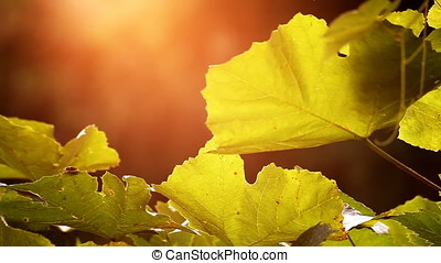 Small Insect Devouring Sunset Backlit Grape Vine Leaves