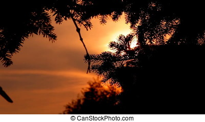 Sunset Backlit Fir Tree Silhouette At Twilight. Horizontal...