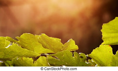 Sunset Backlit Grape Vine Leaves Tracking Pan