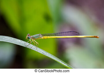 Image of Ceriagrion coromandelianum dragonfly (male) on...