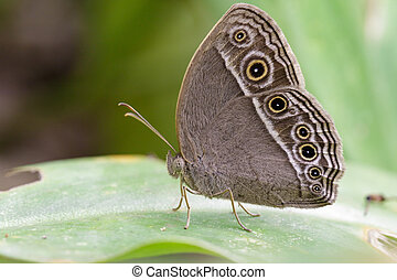 Image of Common Bushbrown Butterfly (Mycalesis perseus...