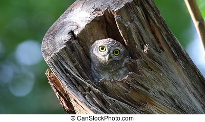 Spotted owlet Athene brama Birds in tree hollow