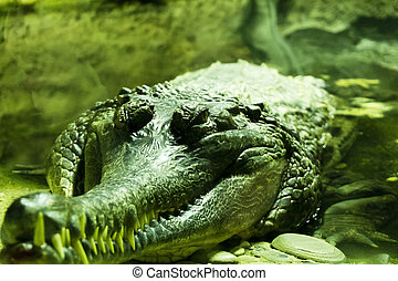 Wild tropical exotic animal crocodile with big teeth swimming in water closeup view natural outdoor concept