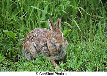Rabbit, Eastern CottonTail - Eastern Cottontail rabbit...