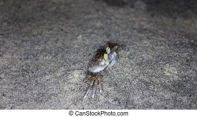 Buried in sand and jumping crabs (genus Ocypode) on shores...