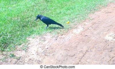 Indian house crow is collecting twigs to build nest -...