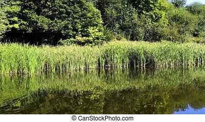 Overgrown lake in summer - Overgrown lake in the summer,...