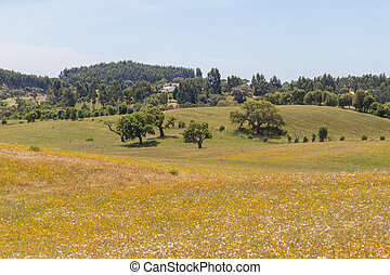 Cork trees in a yellow flowers field in Vale Seco, Santiago...