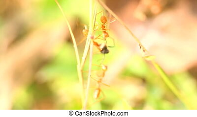 Three Red ants caught spy of another species and tear it...