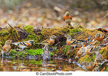 Wild birds among autumn fallen leaves,Wildlife, autumn day,...