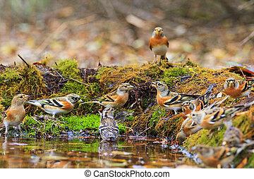 Wild birds among autumn fallen leaves,Wildlife, autumn day,...