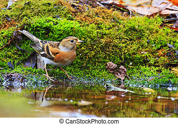 Brambling among green moss on a watering place,Wildlife,...