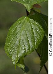 Juvenile lime tree single leaf