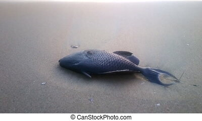 Triggerfish washed up on beach. - Triggerfish (Balistidae)...