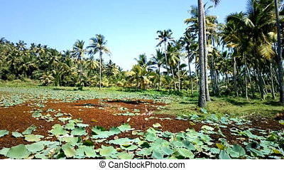 Backwaters and swamps of Kerala. Pond is completely...