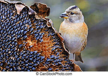 forest bird on sunflower breaks down the seeds.Wildlife,...