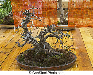 """Oriental hornbeam - Bonsai in the style of """"Bent by the..."""