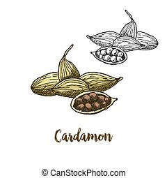 Full color realistic sketch illustration of cardamon, vector...